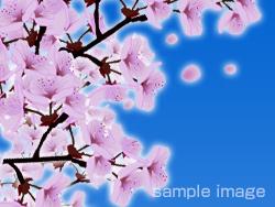 no-image-sakura